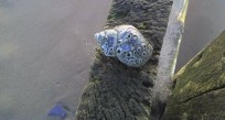 Barnacles on Shell
